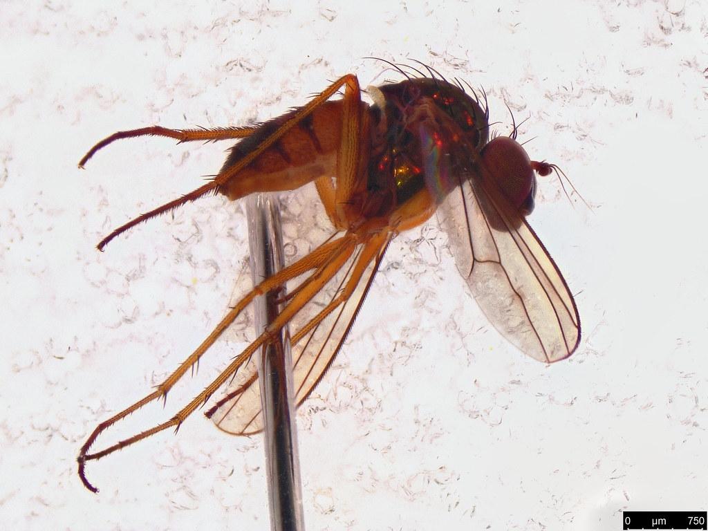 25a - Dolichopodidae sp.