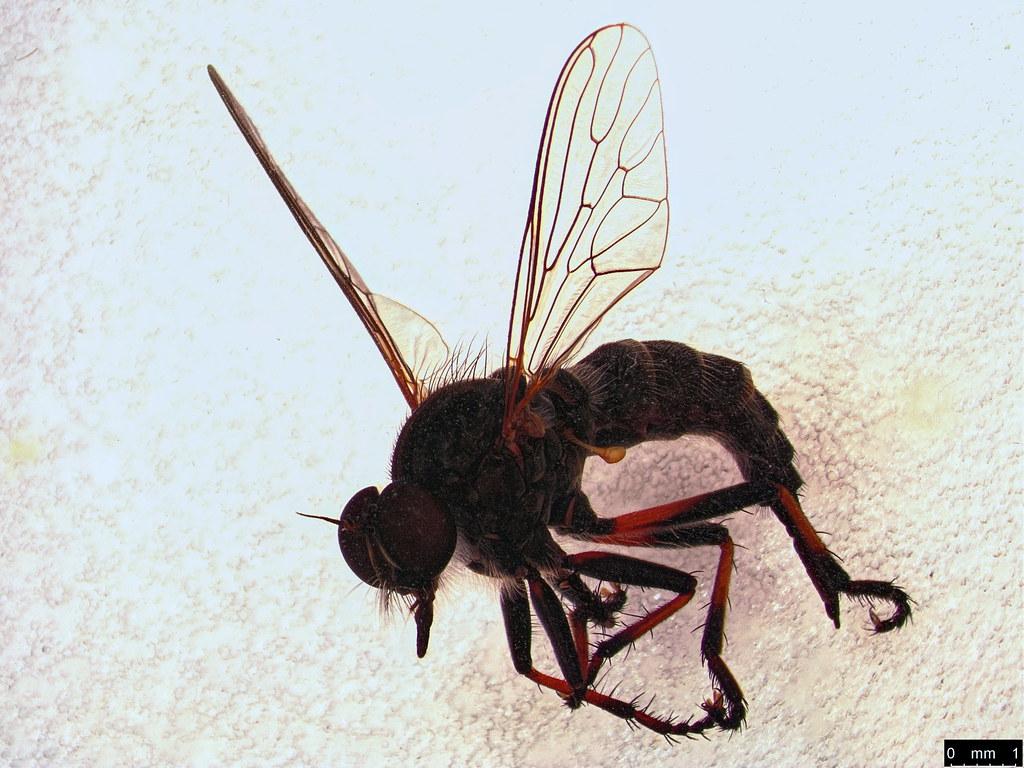 28 - Asilinae sp.