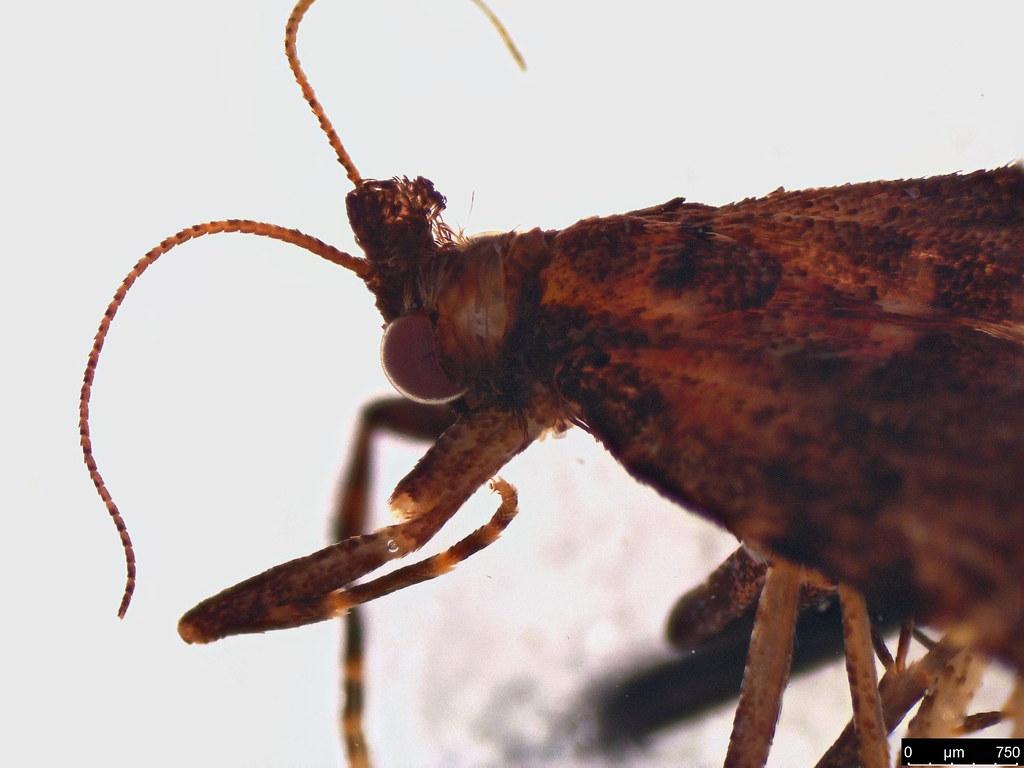 34b - Epipaschiinae sp.