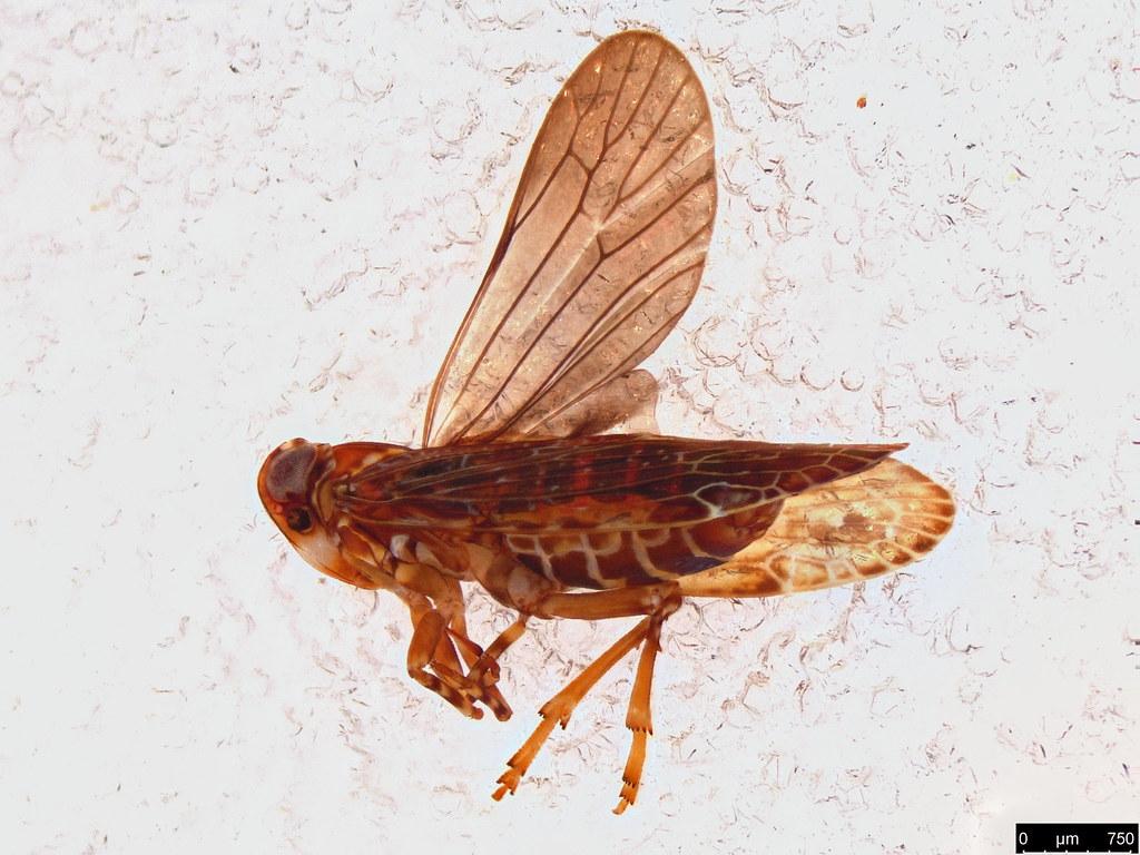 38a - Fulgoroidea sp.