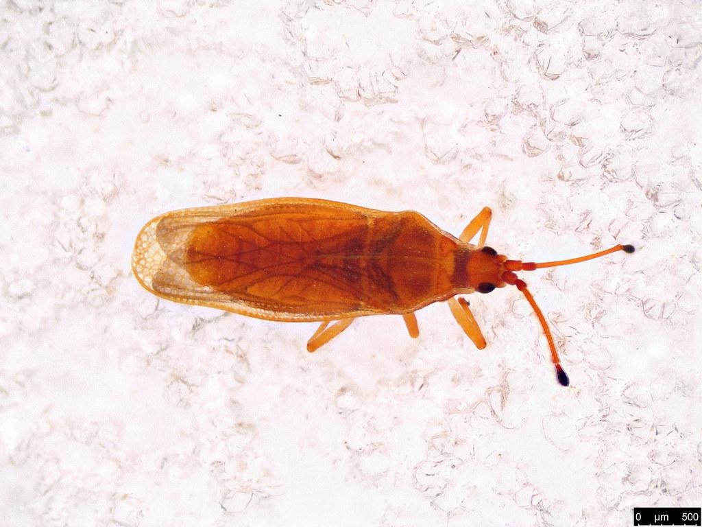 39c - Tingidae sp.
