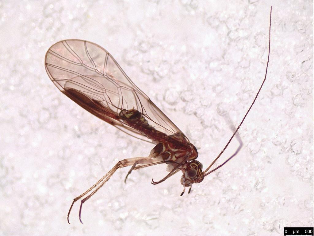 43a - Psocodea sp.
