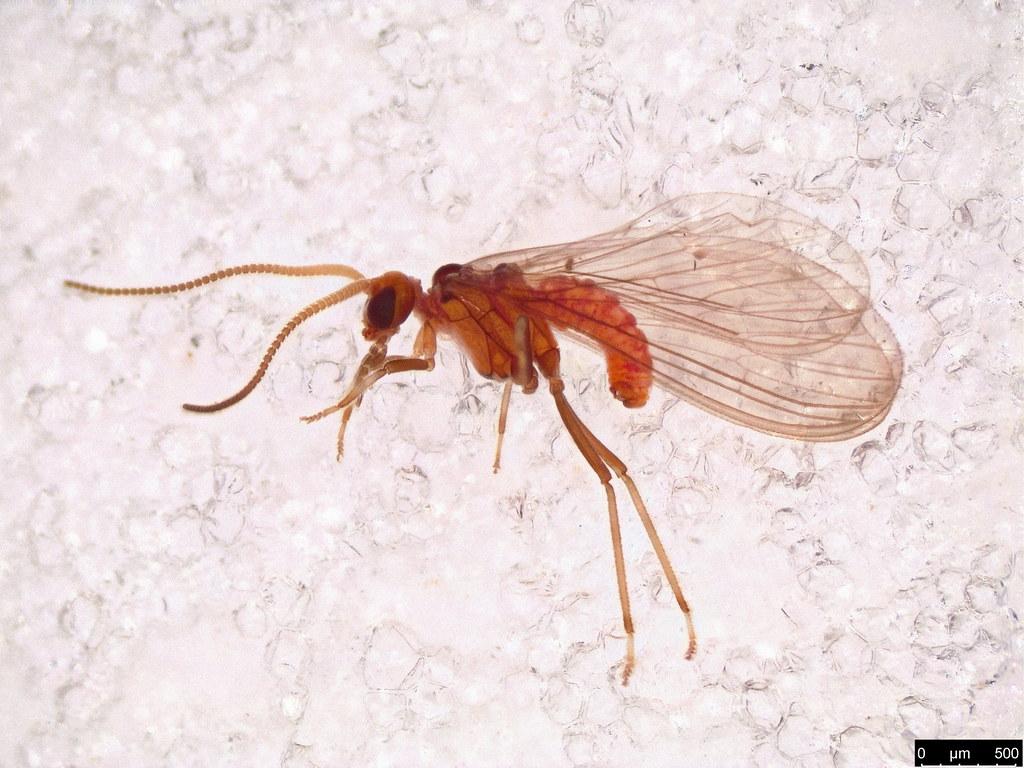 47 - Coniopterygidae sp.
