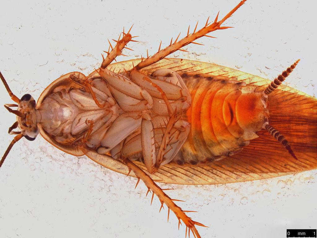 56b - Ectobiidae sp.
