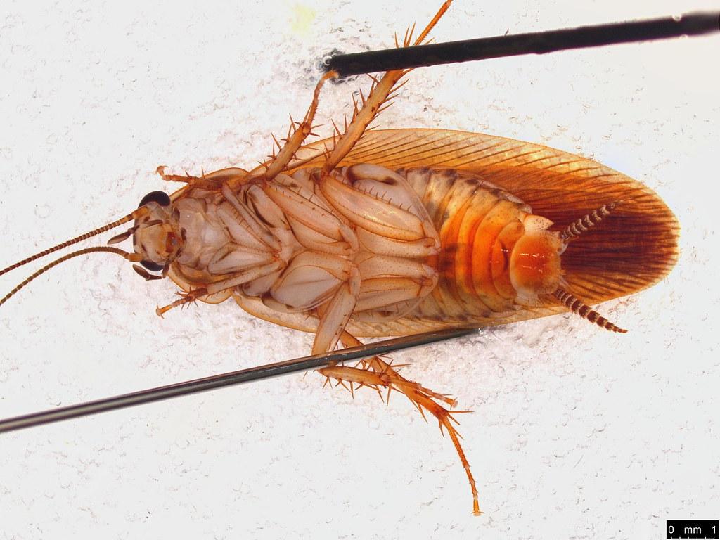 57b - Ectobiidae sp.