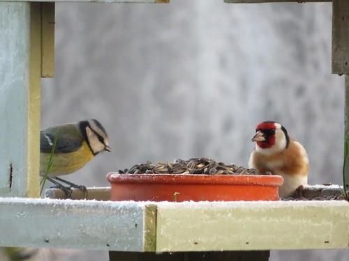 Mésange bleue et chardonneret. Blue tit and goldfinch.