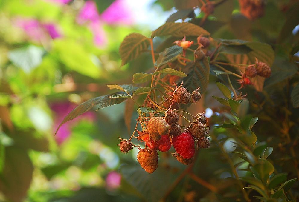 _raspberry_