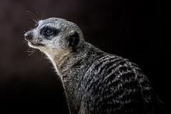 Meerkat  (由  Geert E