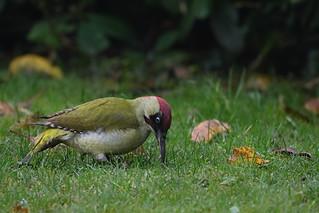 Grünspecht - Green Woodpecker ♂︎