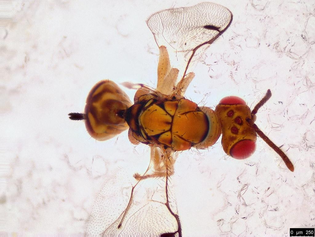 2c - Megastigmidae sp.