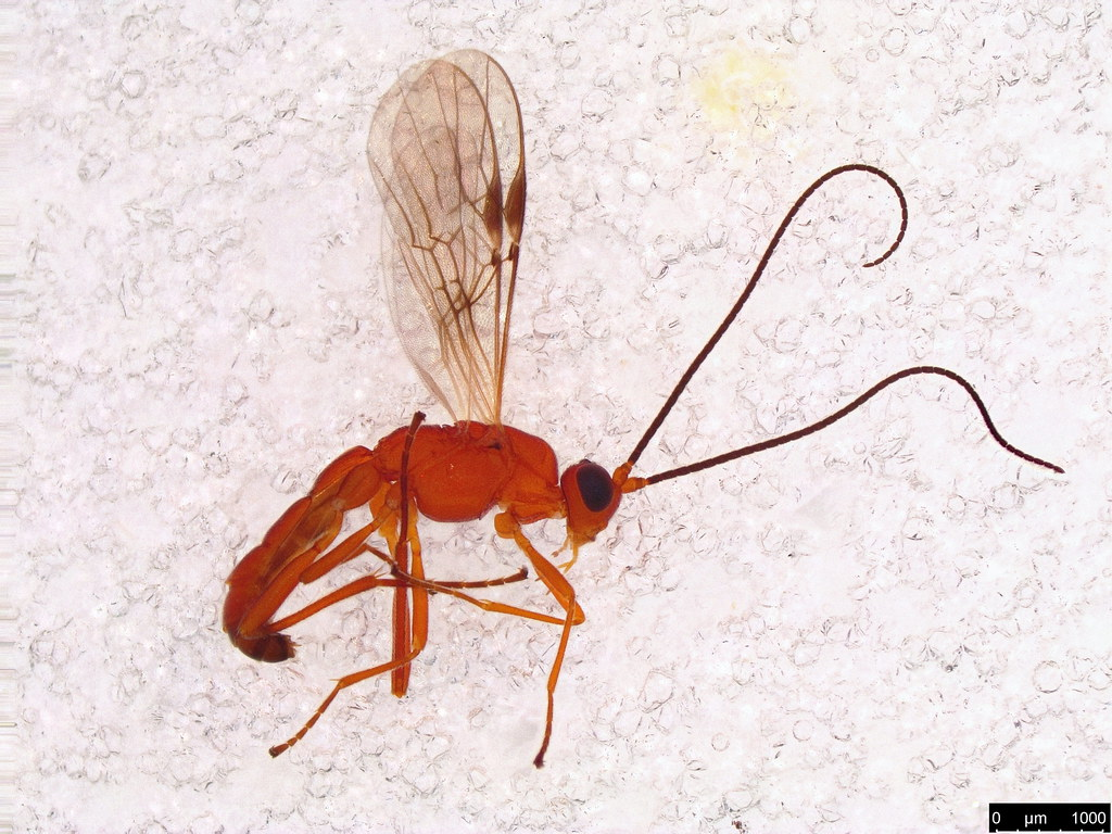 7 - Ichneumonidae sp.