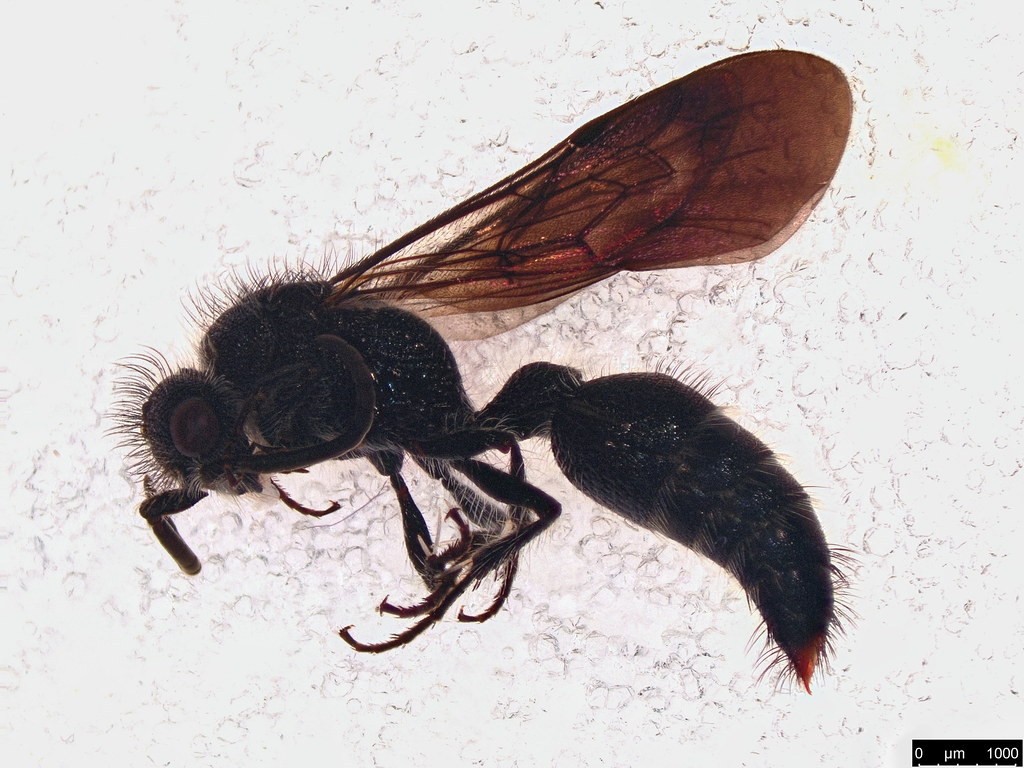 16 - Hymenoptera sp.