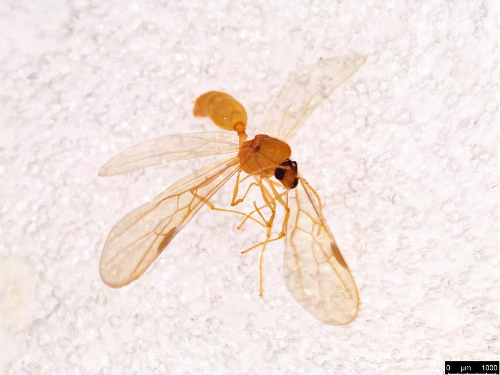 18a - Formicidae sp.