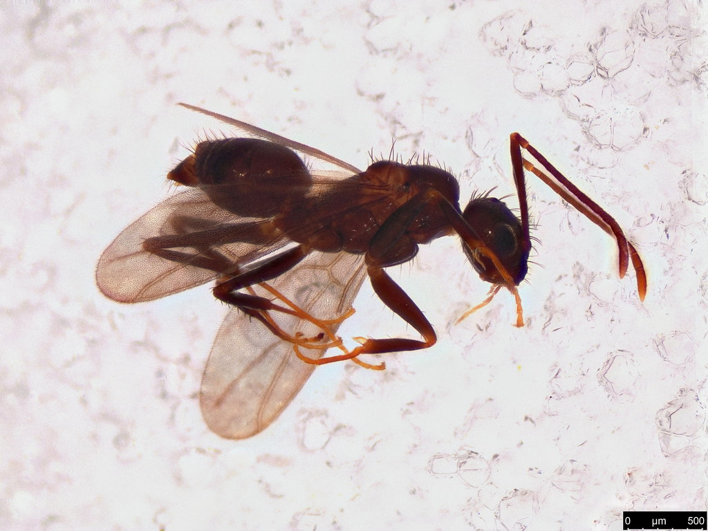 20 - Formicidae sp.