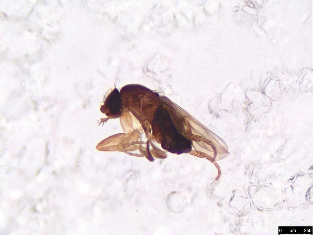 21 - Phoridae sp.