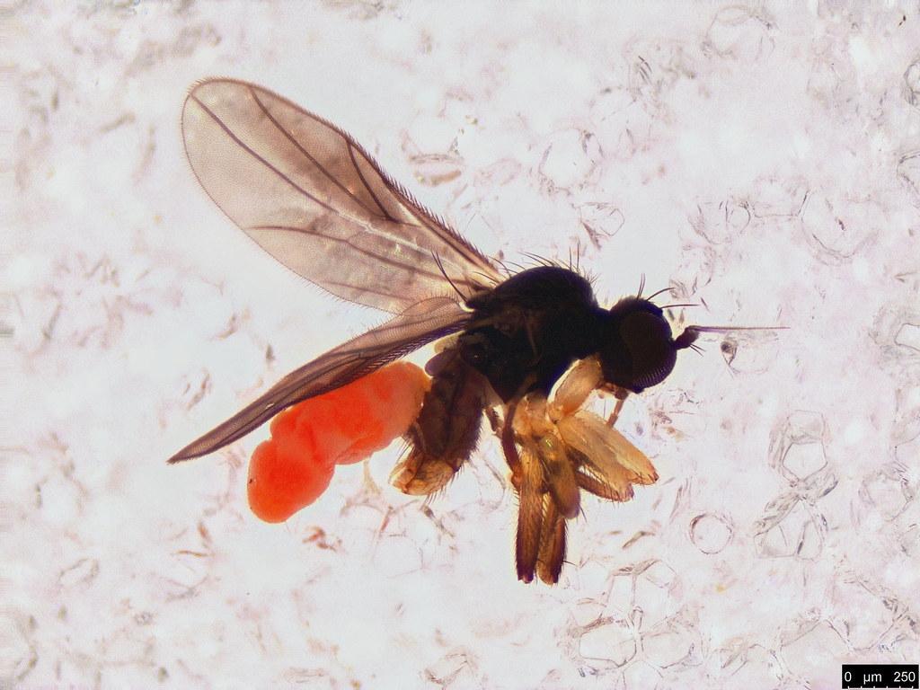 23 - Diptera sp.