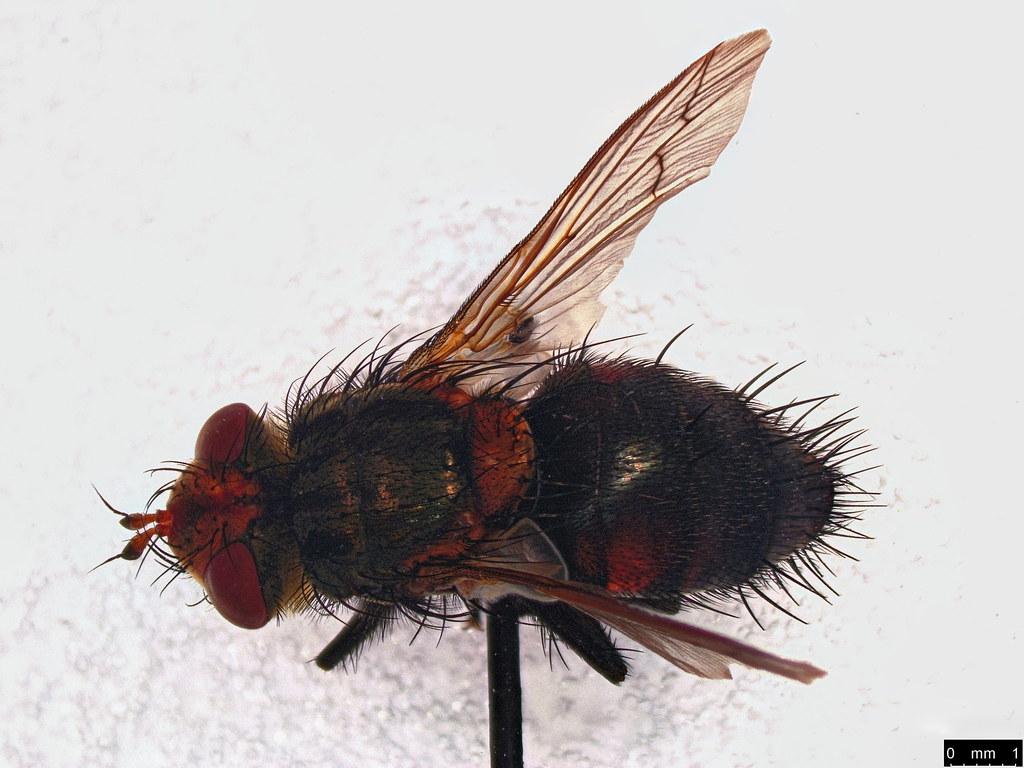 24a - Cuphocera sp.