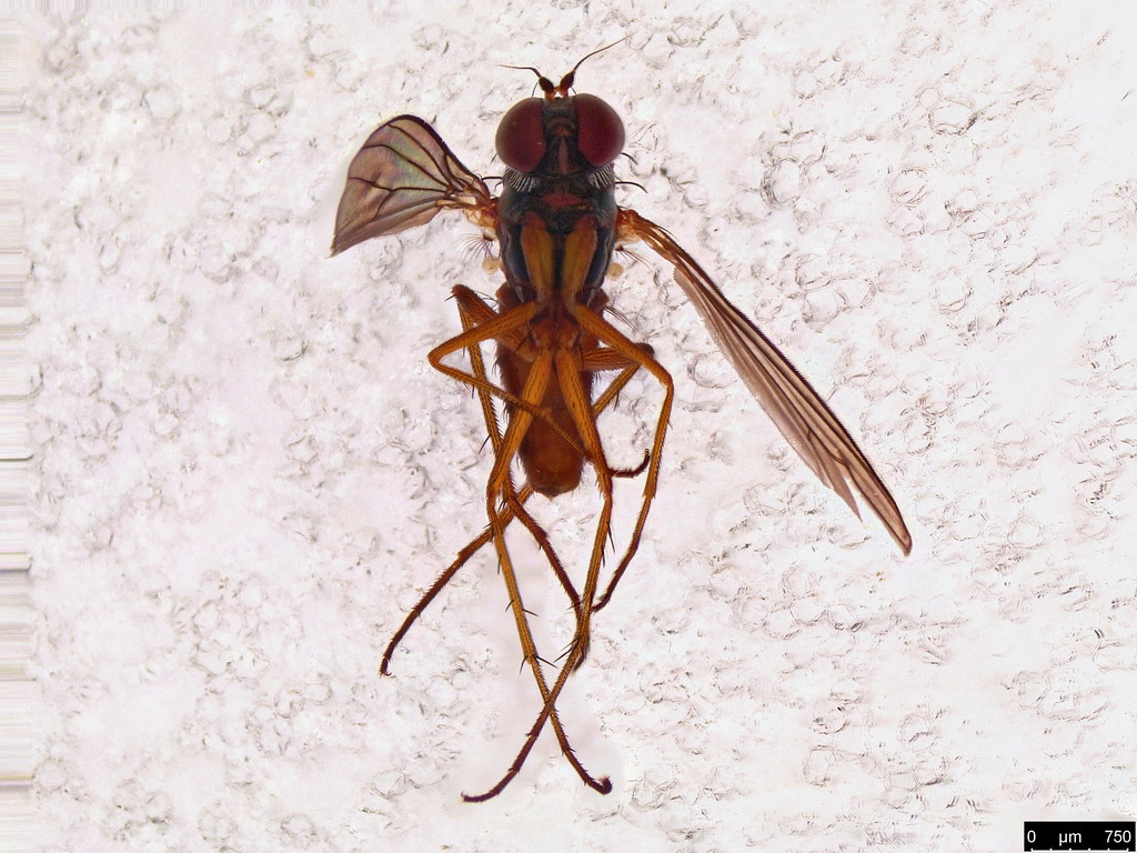 25b - Dolichopodidae sp.