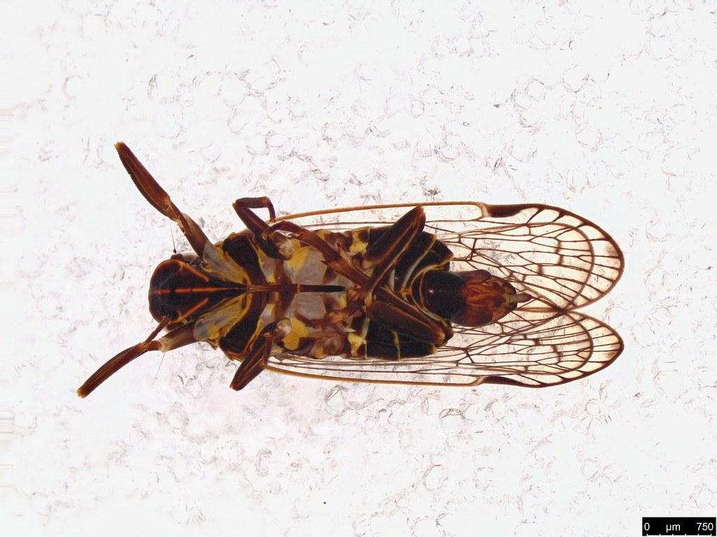 37c - Fulgoroidea sp.