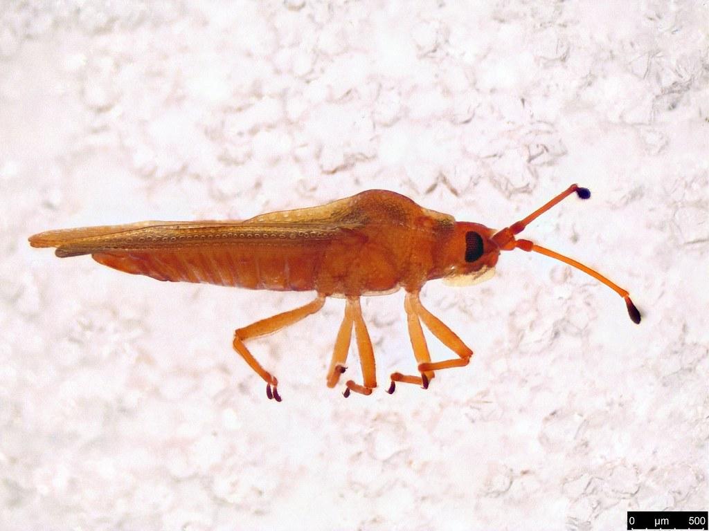 39b - Tingidae sp.