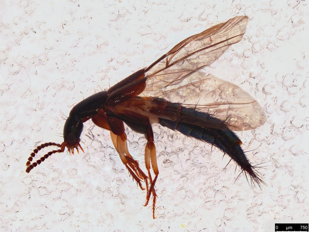 48a - Staphylininae sp.