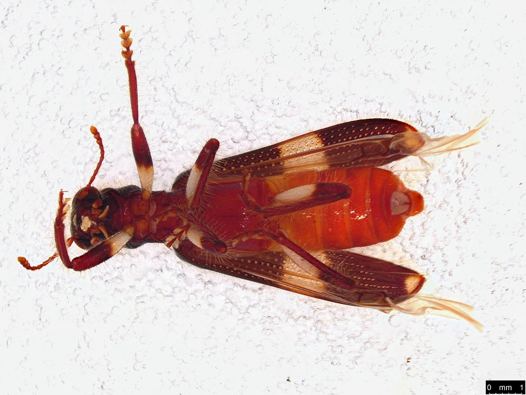 50b - Opilo variipes Chevrolat, 1874