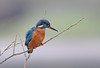 Kingfisher, Eastville Park, on one of It's current favourite perches.