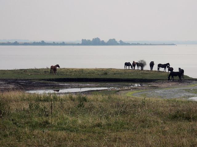 Horses on a floodplain on a foggy day ... (N4882)