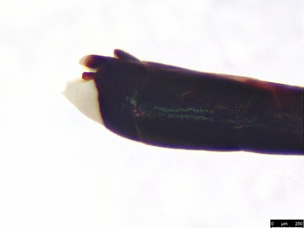 1f - Gasteruption sp.