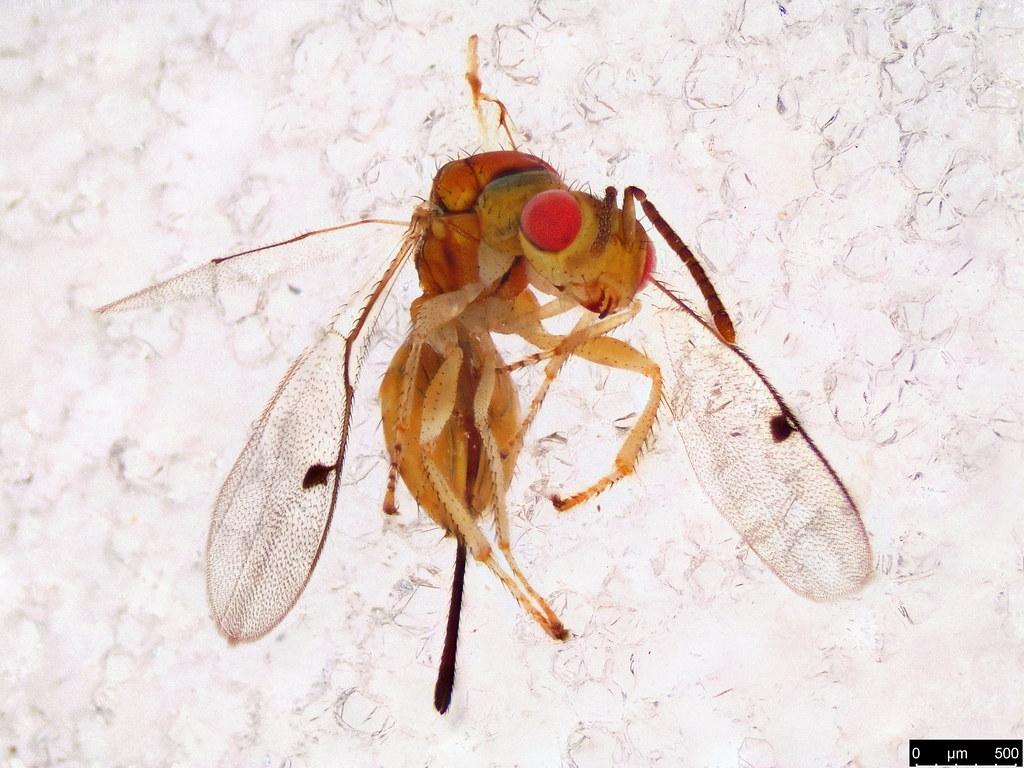 2b - Megastigmidae sp.