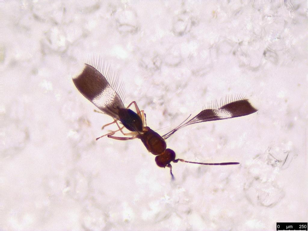 3b - Mymaridae sp.