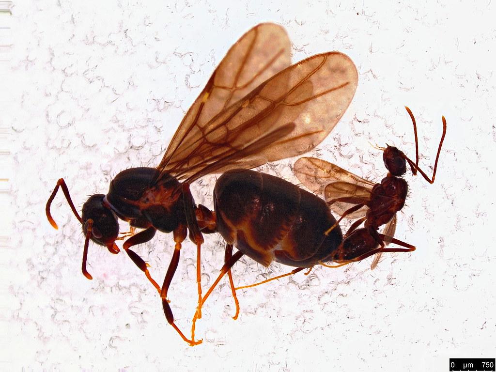 19 - Formicidae sp.