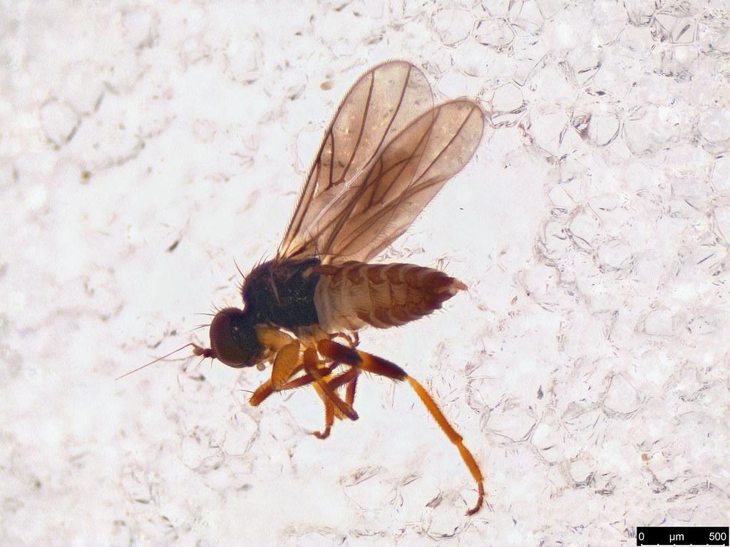 22 - Diptera sp.