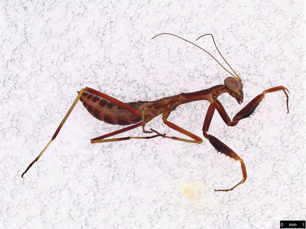 36a - Mantodea sp.