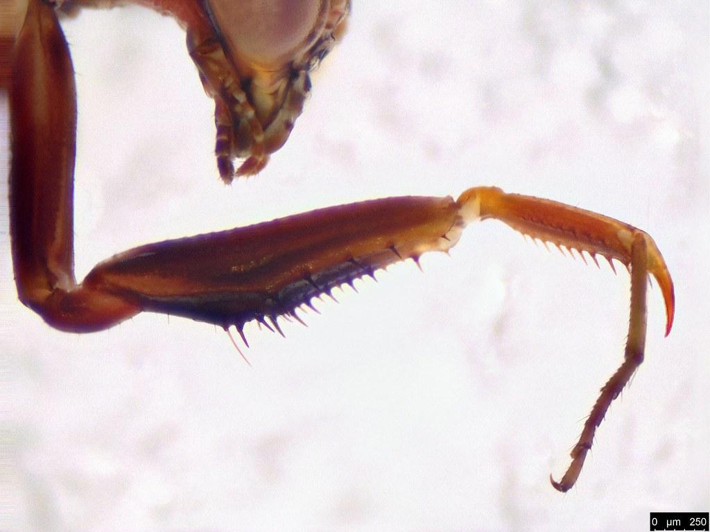 36b - Mantodea sp.