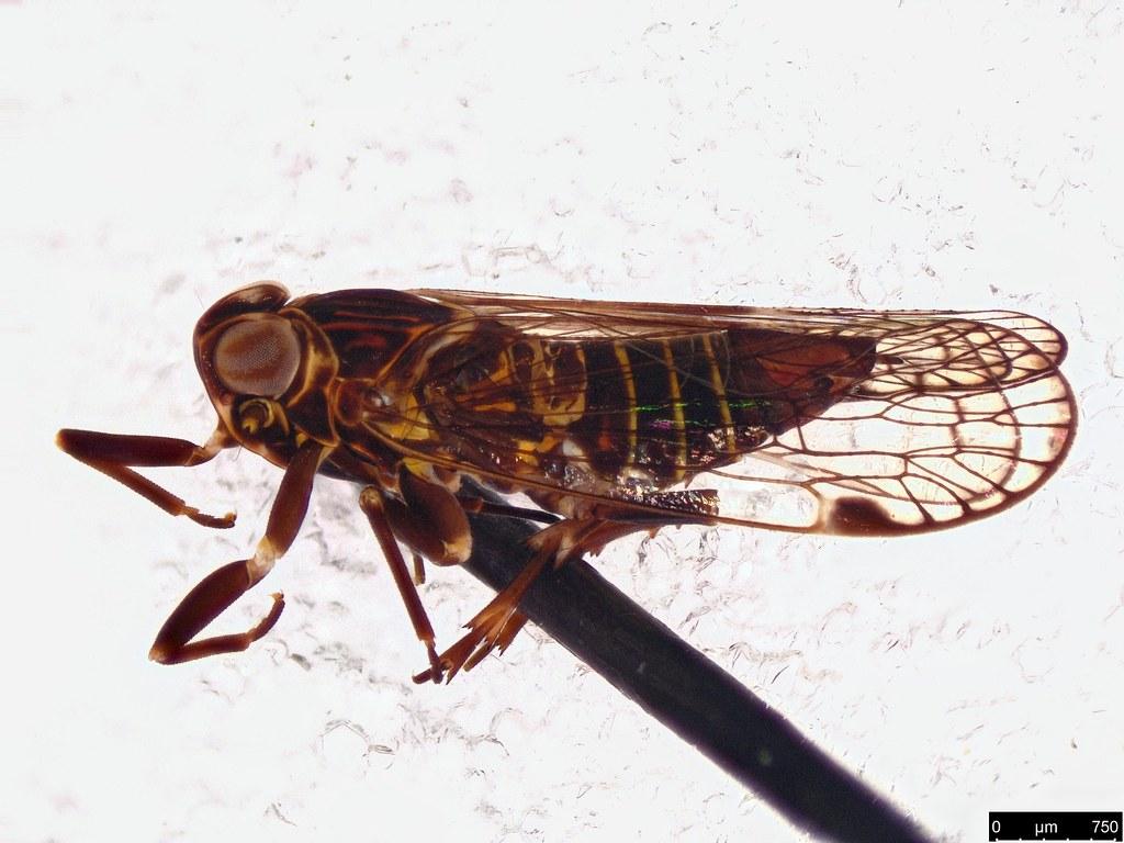 37a - Fulgoroidea sp.