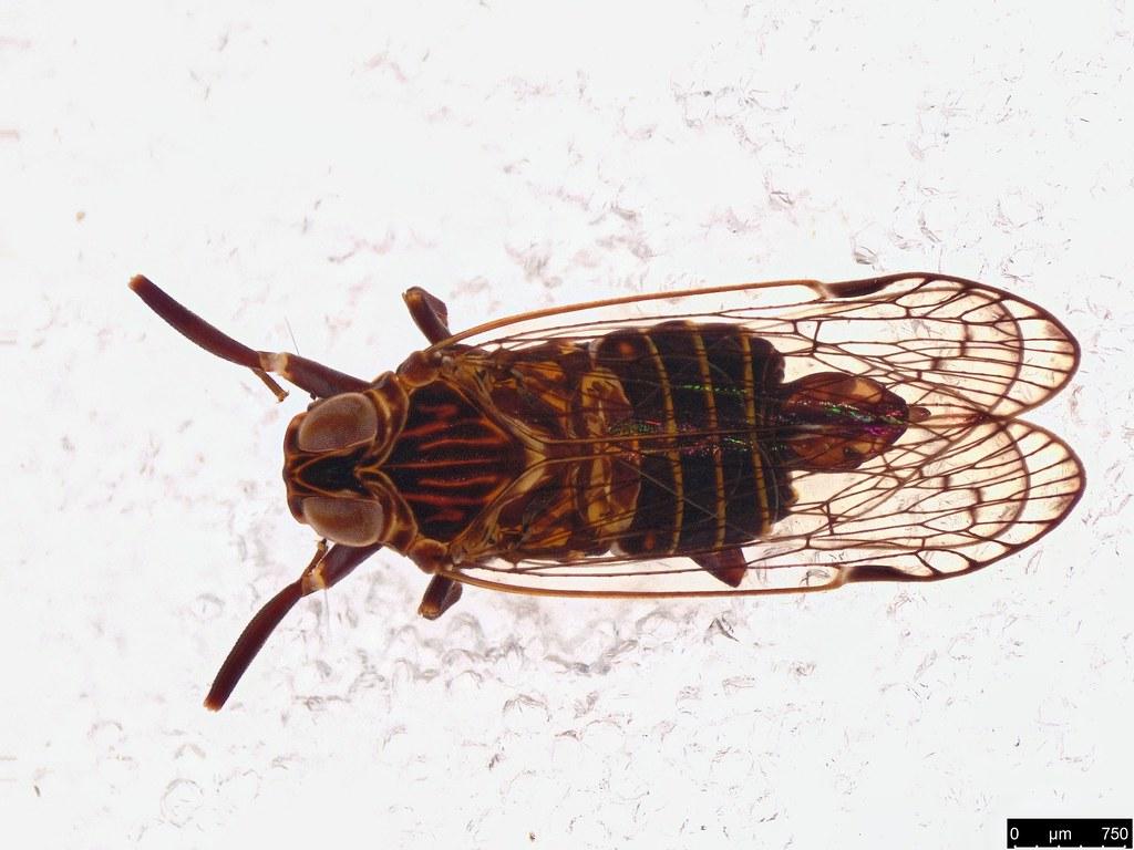 37b - Fulgoroidea sp.