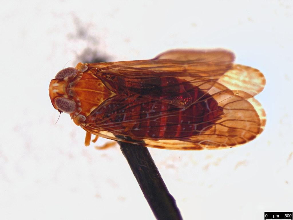 38b - Fulgoroidea sp.