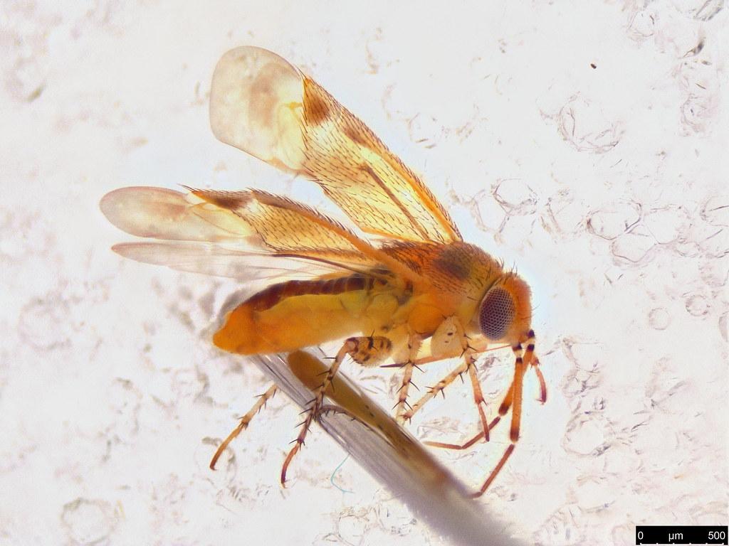 42a - Miridae sp.