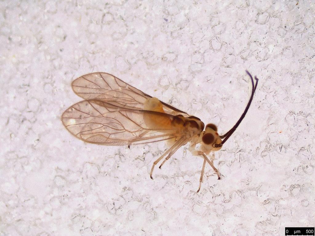 44 - Psocodea sp.