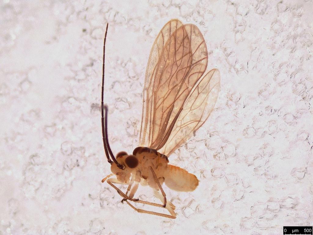 45 - Psocodea sp.