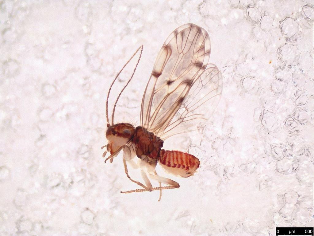 46 - Ectopsocus sp.