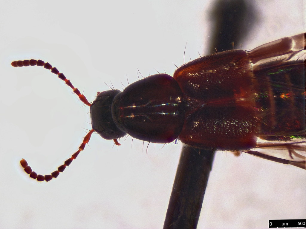48b - Staphylininae sp.