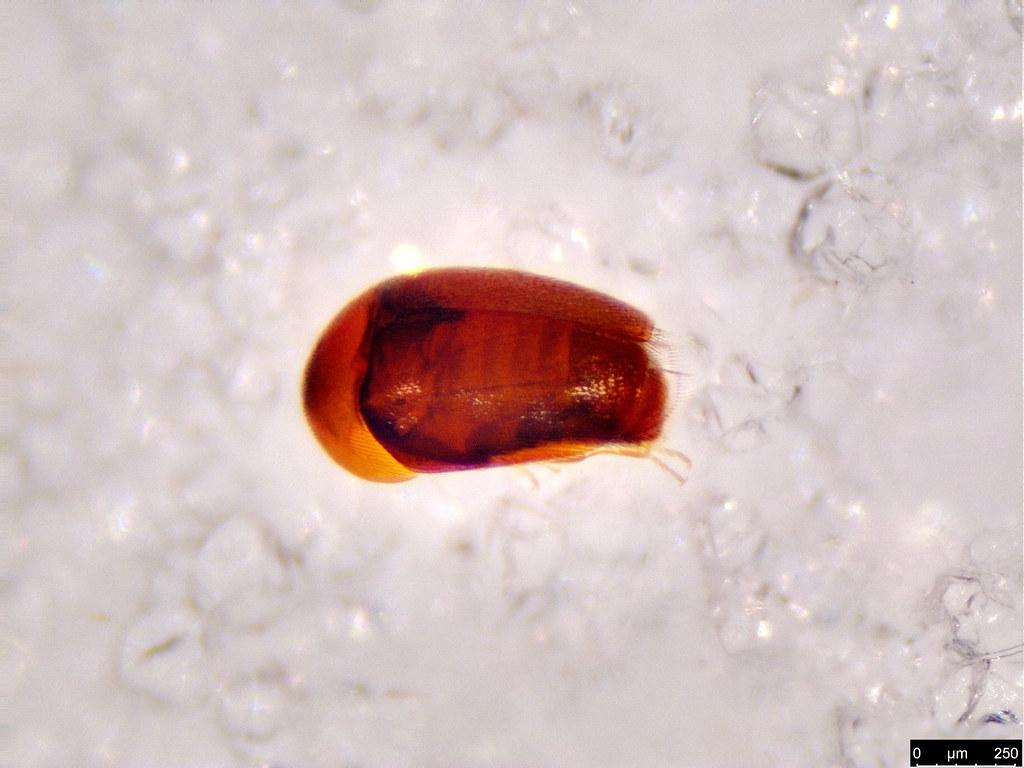 51a - Coleoptera sp.