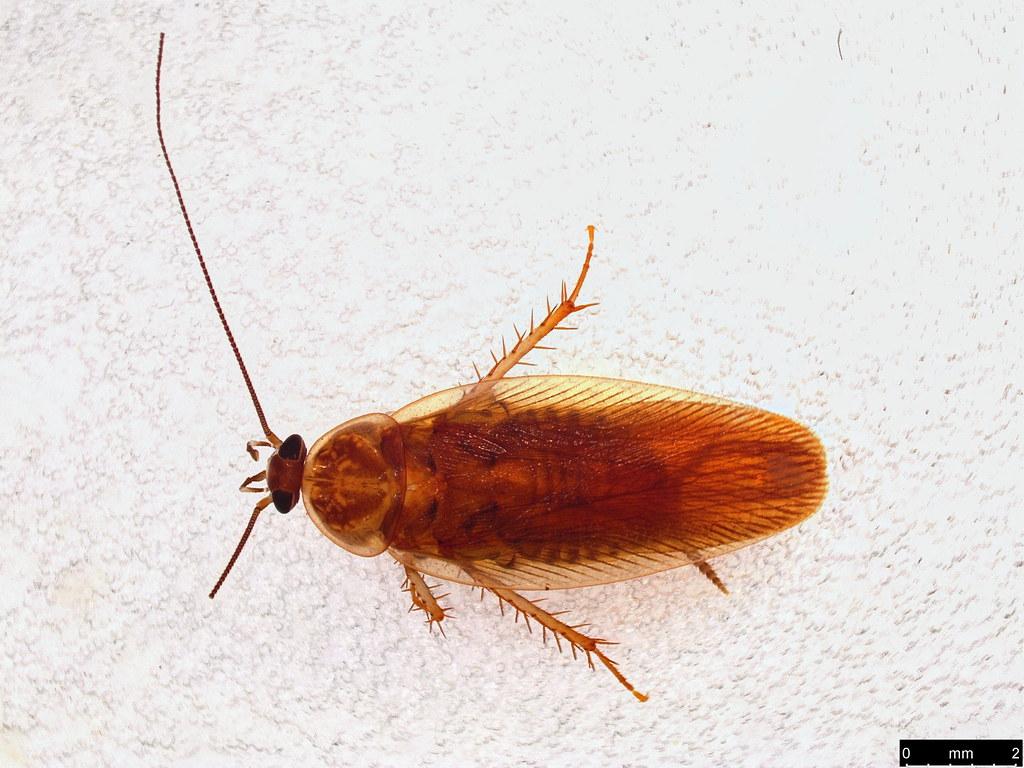 56a - Ectobiidae sp.