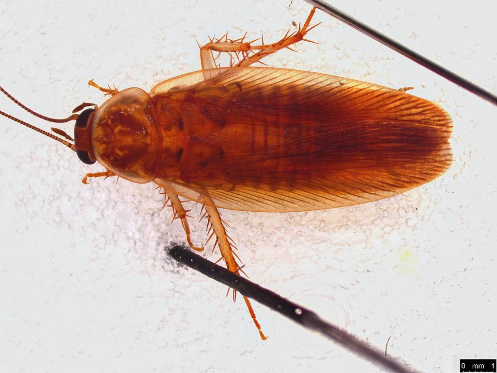 57a - Ectobiidae sp.