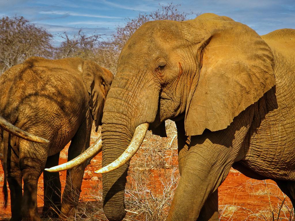 Défenses d'ivoire... 50817730978_f0c5e359ae_b