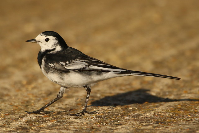 Pied Wagtail at Hillhead Harbour, Hampshire
