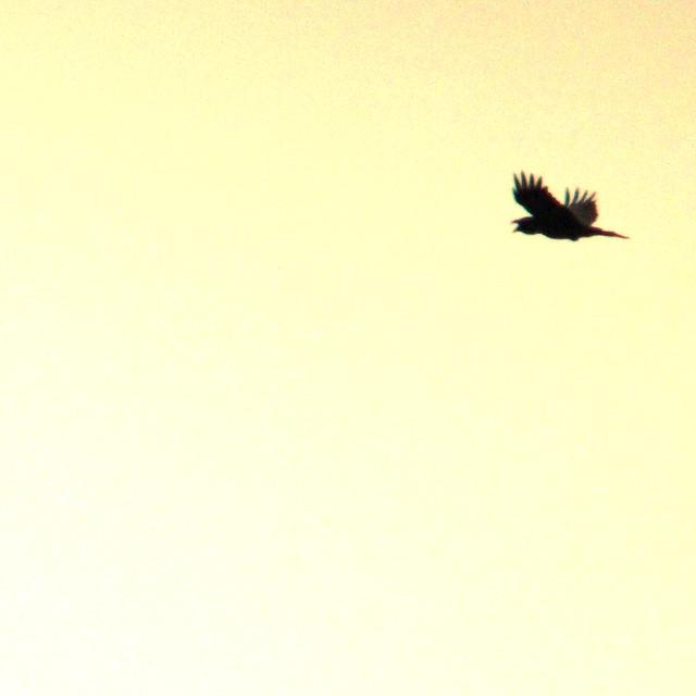 Common raven, Corvus corax, Korp