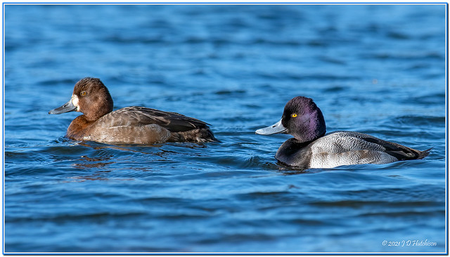 Lesser-Scaup-Female-&-Drake